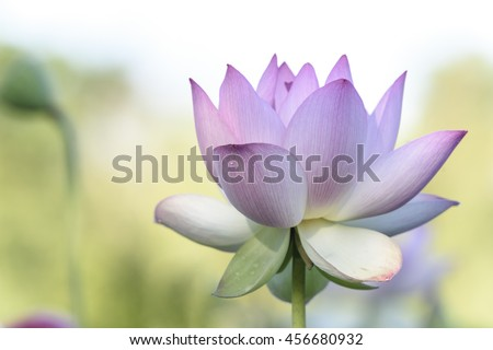 High Key Image of Light Pink Lotus Flower - stock photo