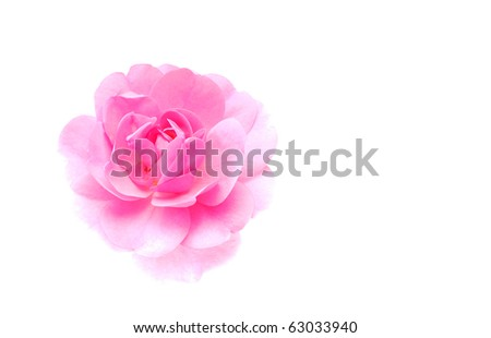 high key pink rose on a white background - stock photo