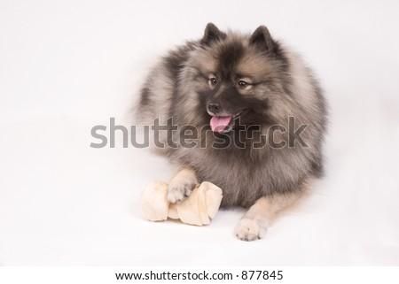 High key portrait of a young female Keeshond dog with her favorite bone - stock photo