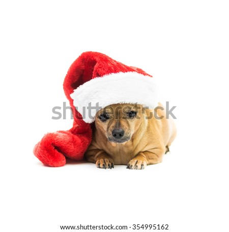 High key shot of a tan Chihuahua wearing a red and white Christmas stocking and looking at the camera - center