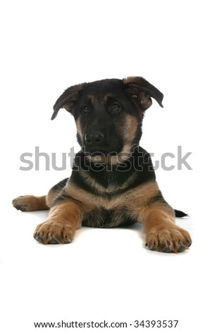 high key studio portrait of German Shepherd puppy