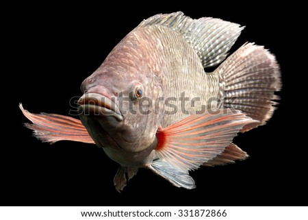 High Quality Shot Of A Large Tilapia Fish About Five Pounds