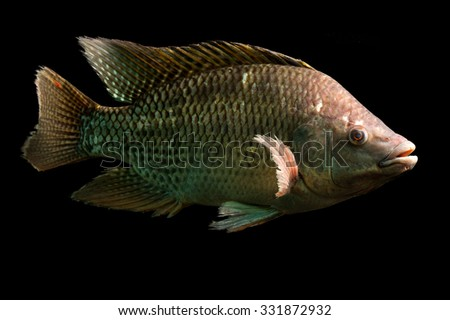 Tilapia stock photos images pictures shutterstock for Is tilapia a man made fish