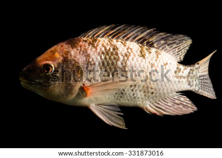 High Quality Shot Of Brown Spotted Tilapia Fish Underwater Studio Aquarium Shot Isolated On Black - stock photo