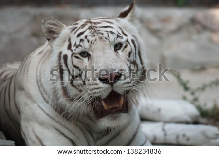 high-res picture of Tiger albino on an artistic background - stock photo