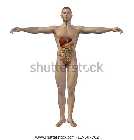 High resolution concept conceptual anatomical human or man 3D digestive system isolated on white background as metaphor to anatomy,medical,body,stomach,medicine,intestine,biology,internal or digest - stock photo