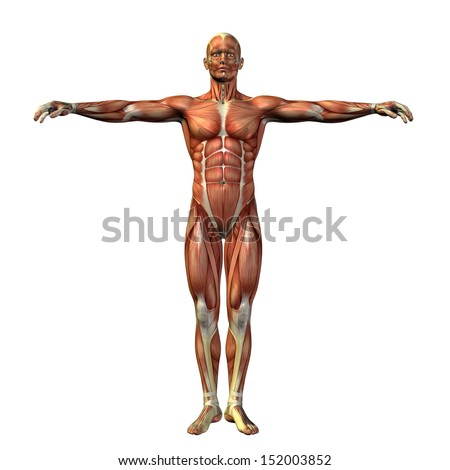 High resolution concept or conceptual human or man 3D anatomy body with muscle isolated on white background as a metaphor to medicine,sport,male,muscular,medical,health,biology or fitness - stock photo