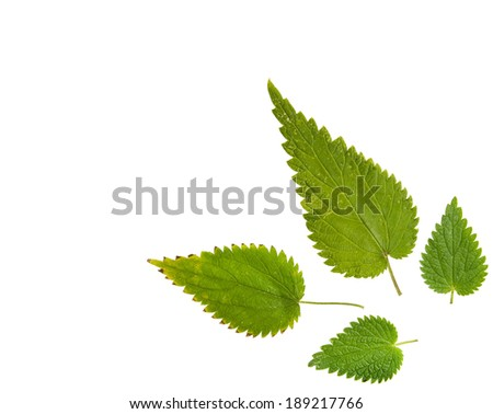 High Resolution green leaf of  nettle isolated on white background - stock photo