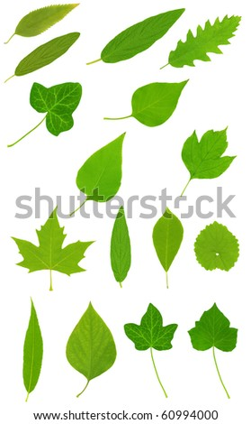 High resolution green leafs isolated on white background - stock photo