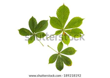 High resolution green leaves of chestnut tree isolated on white background - stock photo