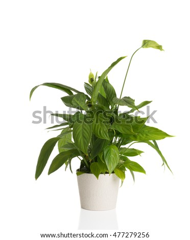 High resolution image of an African Peace Lily on a white background