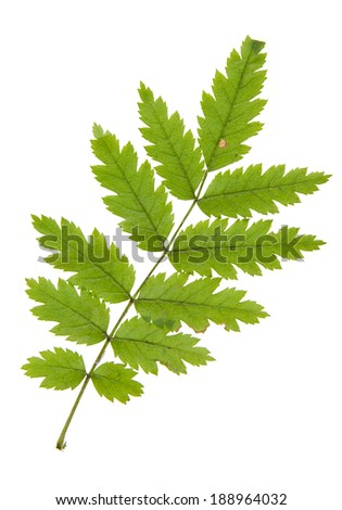 High resolution leaf of rowan tree isolated on white