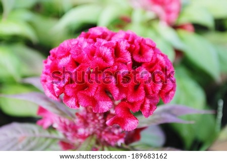 High resolution of Cockscomb flower on a green leaf background.  - stock photo