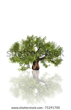 High resolution old baobab tree isolated on white with reflection in water