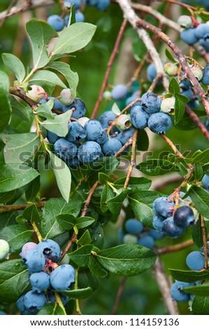 Highbush blueberries on a pick your own farm in Massachusetts. - stock photo