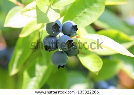 Highbush blueberries on branch - stock photo