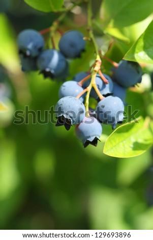 Highbush blueberry plant - stock photo