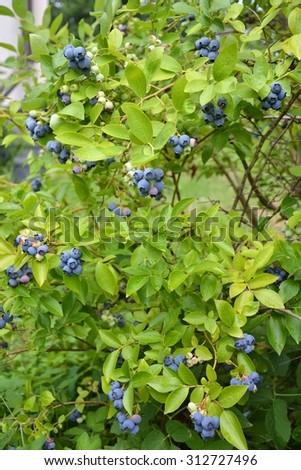 Highbush blueberry plant with fruits - stock photo