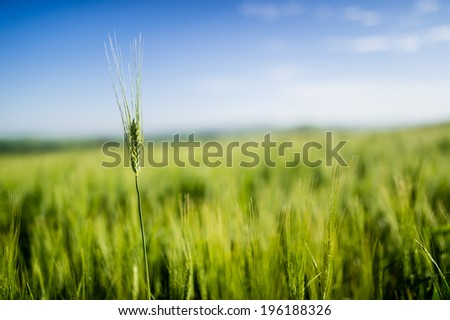 Highest wheat stem in the green field, with blurred background - stock photo