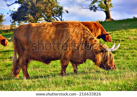 Highland angus cow grazing green grass on a farm grassland - stock photo