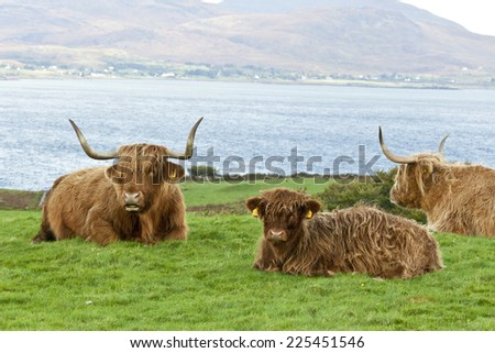 Highland cattle  mother and calf lying down in a field above the sea, Mull Scotland - stock photo