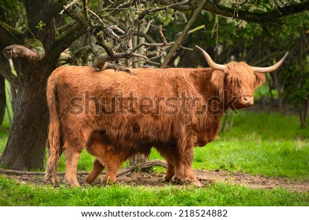 Highland cattle suckling in green idyllic rural landscape - stock photo