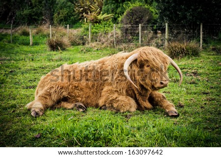 Highland cow in New Zealand - stock photo