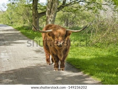 Highland cow looking at you - stock photo