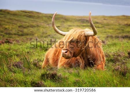Highland cow on the Isle of Skye, Inner Hebrides, Scotland. - stock photo