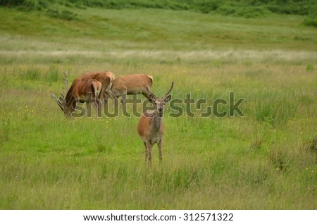 Highland Deer - stock photo