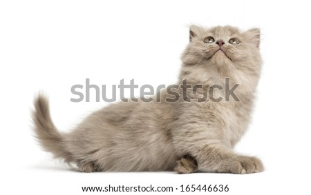 Highland fold kitten lying, looking up, isolated on white - stock photo