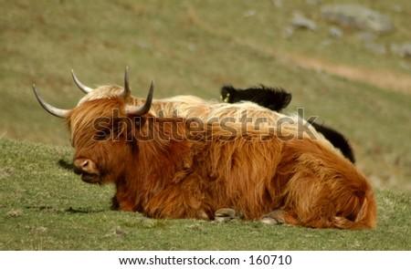 Highland Pair - stock photo