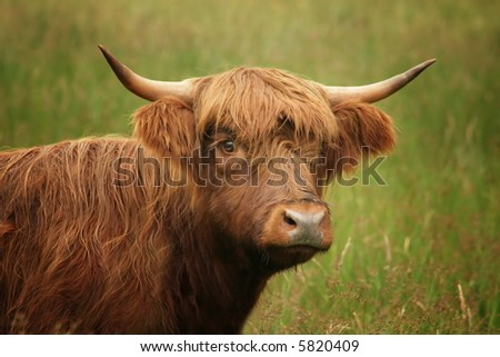 Highlander cow - stock photo