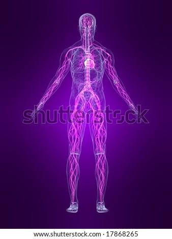 highlighted vascular system - stock photo