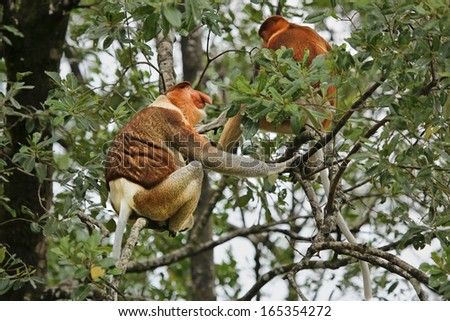 Highly Endangered Proboscis Monkey (Nasalis larvatus) male & female sitting in a tree & communicating in the wild jungles of Borneo. The male is larger with a huge nose, the female is above him. - stock photo