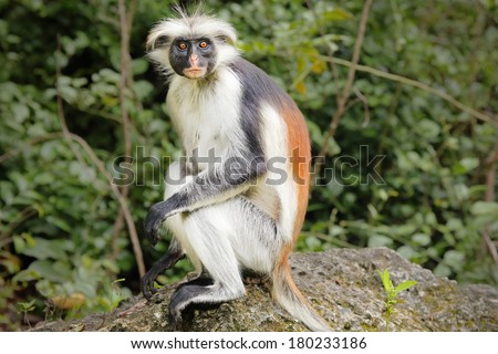 Highly endangered Zanzibar Red Colobus Monkey (Procolobus kirkii) in Jozani Forest on island of Zanzibar (Tanzania, Africa). They exist only on this island. About 1,600 to 3,000 individuals remain. - stock photo