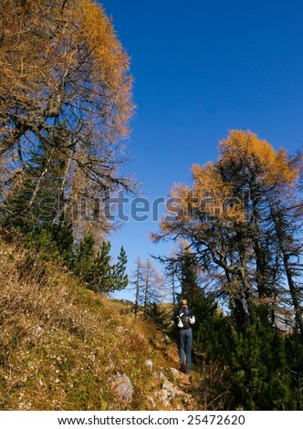Hiker on the path with big pines - stock photo