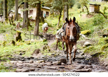 Hiking in Khumbu Valley in Himalayas mountain. A small donkey carrying a heavy load.