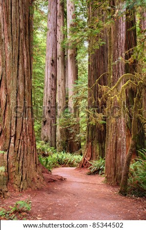 Hiking path through a redwood forest in California with moss and ferns - stock photo