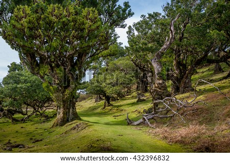 Hiking path trough the Fanal virgin forest old trees and green hills of Madeira west side mountain plateau. Madeira island, Portugal.