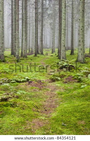 Hiking trail through a misty spruce forest - stock photo