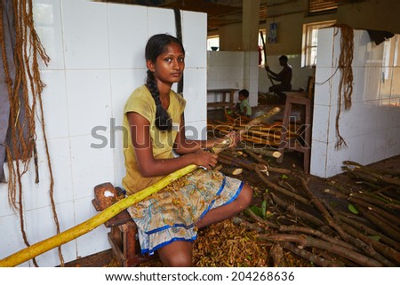 HIKKADUWA, SRI LANKA - July 11: Man is processing branches of cinnamon in small workshop near Hikkaduwa on July 11, 2014. Sri Lanka is one of the top producer of cinnamon in the world.  - stock photo