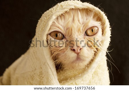 Hilarious wet cat wrapped in a towel - stock photo