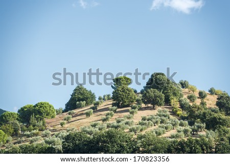 Hills covered with olive trees in Tuscany, Italy