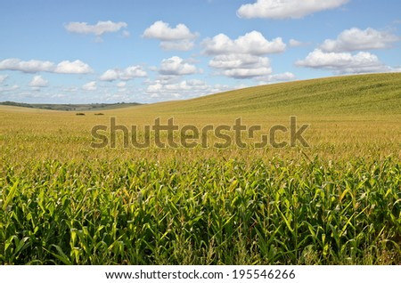 Hilly Cornfield - stock photo