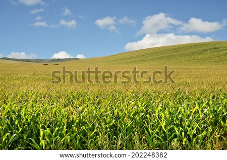Hilly Cornfield in Europe - stock photo