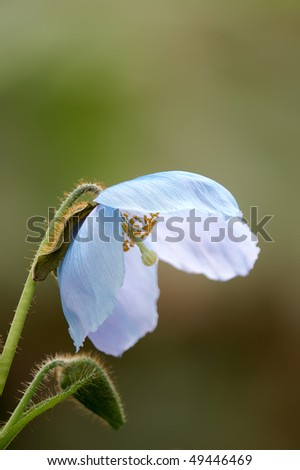 Himalayan Blue Poppy Vertical With Copy Space - stock photo