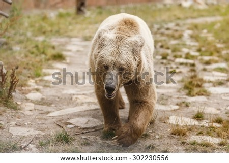 Himalayan brown bear walking around - stock photo