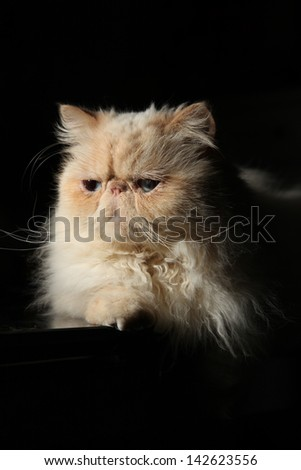 Himalayan Cat - stock photo