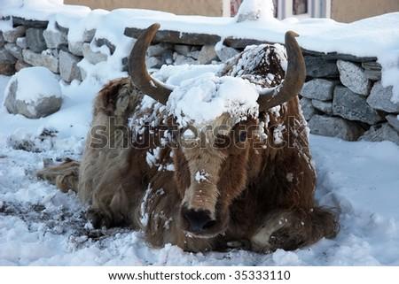 Himalayan yak after a snowfall, Nepal - stock photo